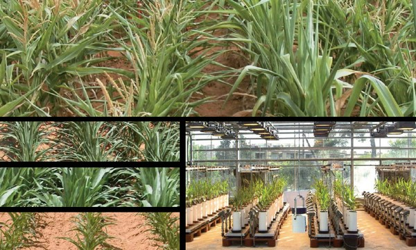 From the phenotyping platform to the field: analysing genetic variability in the sensitivity of growth to water deficits and predicting the behaviour of genotypes under different agroclimatic conditions. © INRA - UMR LEPSE