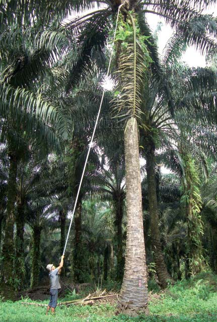 Tall mature palm trees (12 m and taller): skilled labour required for pole use (Ecuador).- © B. Dubos